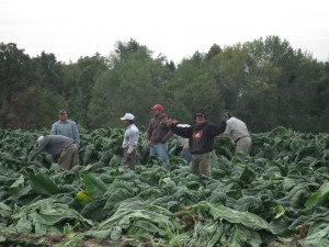 Migrant workers in Leamington, ON bring in a tobacco crop.