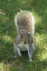 Squirrel for Joyful Abandon reflection