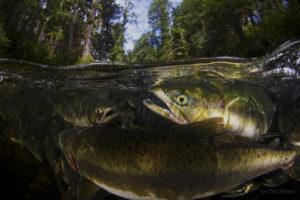 great bear rainforest, BC, Canada, Photographer: Ian McAllister