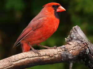 red cardinal in Canada
