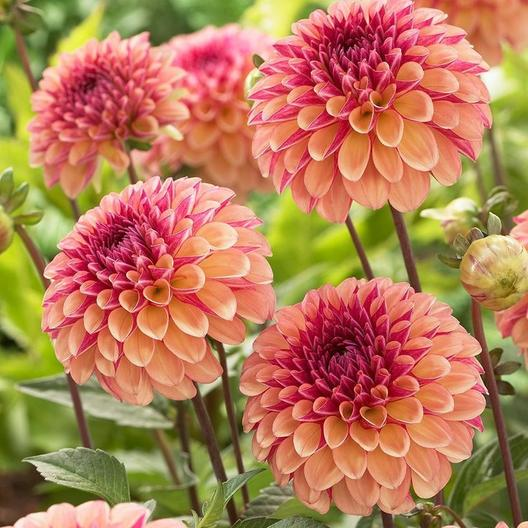 dhalia flower