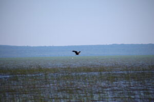 eagle flying over Lake Superior
