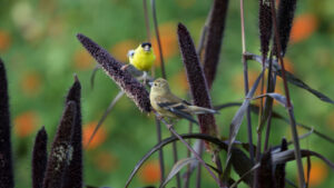 finches on plants